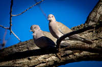 Turtle Doves pair for life I've heard.